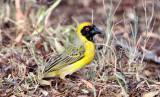 BIRD - WEAVER - SOUTHERN MASKED WEAVER - PLOCERUS VELATUS - KAROO NATIONAL PARK SOUTH AFRICA (4).JPG