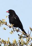 BIRD - WEAVER-  BUFFALO-BILLED WEAVER - BUBALORNIS NIGER - KHWAI CAMP OKAVANGO BOTSWANA.JPG