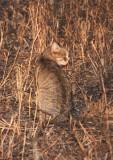 FELID - AFRICAN WILDCAT - KRUGER NATIONAL PARK SOUTH AFRICA (6).JPG