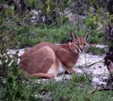 FELID - CARACAL - WEST COAST NATIONAL PARK SOUTH AFRICA (13).JPG