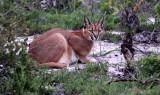 FELID - CARACAL - WEST COAST NATIONAL PARK SOUTH AFRICA (14).JPG