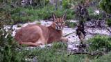 FELID - CARACAL - WEST COAST NATIONAL PARK SOUTH AFRICA (31).JPG