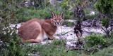 FELID - CARACAL - WEST COAST NATIONAL PARK SOUTH AFRICA (5).JPG