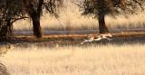 FELID - CHEETAH - HUNT WITH SPRINGBOK - KGALAGADI NATIONAL PARK SOUTH AFRICA (11).JPG