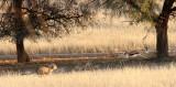 FELID - CHEETAH - HUNT WITH SPRINGBOK - KGALAGADI NATIONAL PARK SOUTH AFRICA (13).JPG