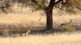 FELID - CHEETAH - HUNT WITH SPRINGBOK - KGALAGADI NATIONAL PARK SOUTH AFRICA (14).JPG