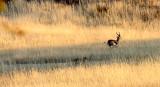 FELID - CHEETAH - HUNT WITH SPRINGBOK - KGALAGADI NATIONAL PARK SOUTH AFRICA (22).JPG