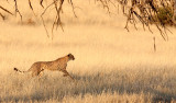 FELID - CHEETAH - HUNT WITH SPRINGBOK - KGALAGADI NATIONAL PARK SOUTH AFRICA (4).JPG