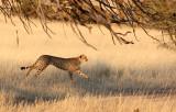 FELID - CHEETAH - HUNT WITH SPRINGBOK - KGALAGADI NATIONAL PARK SOUTH AFRICA (8).JPG