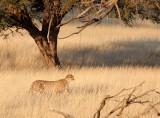 FELID - CHEETAH - HUNT WITH SPRINGBOK - KGALAGADI NATIONAL PARK SOUTH AFRICA.JPG