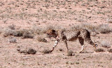 FELID - CHEETAH - HUNTING PAIR - KGALAGADI NATIONAL PARK SOUTH AFRICA (14).JPG