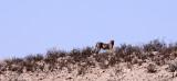 FELID - CHEETAH - HUNTING PAIR - KGALAGADI NATIONAL PARK SOUTH AFRICA (40).JPG
