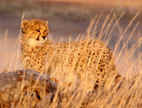 FELID - CHEETAH - KGALAGADI NATIONAL PARK SOUTH AFRICA (106).JPG