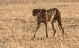FELID - CHEETAH - KGALAGADI NATIONAL PARK SOUTH AFRICA (11).JPG