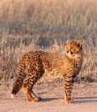 FELID - CHEETAH - KGALAGADI NATIONAL PARK SOUTH AFRICA (134).JPG