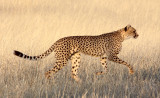 FELID - CHEETAH - KGALAGADI NATIONAL PARK SOUTH AFRICA (168).JPG