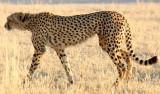 FELID - CHEETAH - KGALAGADI NATIONAL PARK SOUTH AFRICA (19).JPG