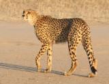 FELID - CHEETAH - KGALAGADI NATIONAL PARK SOUTH AFRICA (33).JPG