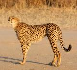 FELID - CHEETAH - KGALAGADI NATIONAL PARK SOUTH AFRICA (36).JPG