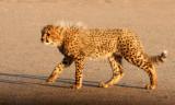 FELID - CHEETAH - KGALAGADI NATIONAL PARK SOUTH AFRICA (44).JPG