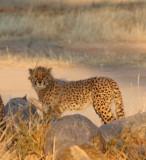 FELID - CHEETAH - KGALAGADI NATIONAL PARK SOUTH AFRICA (61).jpg