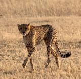 FELID - CHEETAH - KGALAGADI NATIONAL PARK SOUTH AFRICA (9).JPG