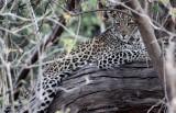 FELID - LEOPARD - AFRICAN LEOPARD - CHOBE NATIONAL PARK BOTSWANA (14).jpg