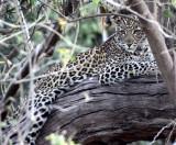 FELID - LEOPARD - AFRICAN LEOPARD - CHOBE NATIONAL PARK BOTSWANA (15).JPG