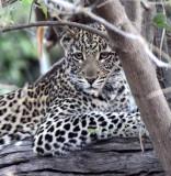 FELID - LEOPARD - AFRICAN LEOPARD - CHOBE NATIONAL PARK BOTSWANA (17).jpg
