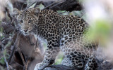 FELID - LEOPARD - AFRICAN LEOPARD - CHOBE NATIONAL PARK BOTSWANA (26).JPG