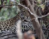 FELID - LEOPARD - AFRICAN LEOPARD - CHOBE NATIONAL PARK BOTSWANA (3).jpg