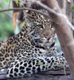 FELID - LEOPARD - AFRICAN LEOPARD - CHOBE NATIONAL PARK BOTSWANA (40).jpg
