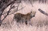FELID - LEOPARD - AFRICAN LEOPARD - KRUGER NATIONAL PARK SOUTH AFRICA (8).JPG