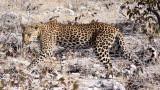 FELID - LEOPARD - ETOSHA NATIONAL PARK NAMIBIA (20).JPG