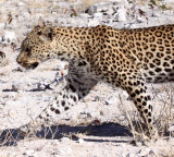 FELID - LEOPARD - ETOSHA NATIONAL PARK NAMIBIA (25).JPG
