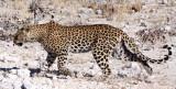 FELID - LEOPARD - ETOSHA NATIONAL PARK NAMIBIA (30).JPG