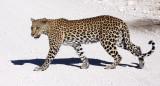 FELID - LEOPARD - ETOSHA NATIONAL PARK NAMIBIA (36).JPG