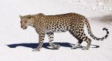 FELID - LEOPARD - ETOSHA NATIONAL PARK NAMIBIA (37).JPG