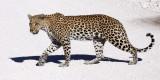 FELID - LEOPARD - ETOSHA NATIONAL PARK NAMIBIA (38).JPG