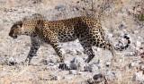 FELID - LEOPARD - ETOSHA NATIONAL PARK NAMIBIA (9).JPG