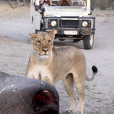 FELID - LION - AFRICAN LION - ANGRY LIONESS COMING TO GET THE LEOPARDS - CHOBE NATIONAL PARK BOTSWANA (5).JPG