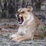 FELID - LION - AFRICAN LION - CHOBE NATIONAL PARK BOTSWANA (10).JPG