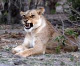 FELID - LION - AFRICAN LION - CHOBE NATIONAL PARK BOTSWANA (11).JPG