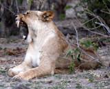 FELID - LION - AFRICAN LION - CHOBE NATIONAL PARK BOTSWANA (39).JPG