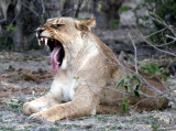 FELID - LION - AFRICAN LION - CHOBE NATIONAL PARK BOTSWANA (8).JPG