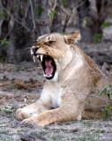 FELID - LION - AFRICAN LION - CHOBE NATIONAL PARK BOTSWANA (9).JPG