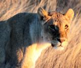 FELID - LION - AFRICAN LION - SICK ATTACKERS - ETOSHA NATIONAL PARK NAMIBIA (11).JPG