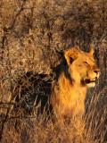 FELID - LION - AFRICAN LION - SICK ATTACKERS - ETOSHA NATIONAL PARK NAMIBIA (15).JPG