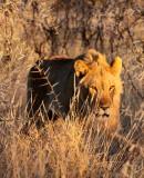FELID - LION - AFRICAN LION - SICK ATTACKERS - ETOSHA NATIONAL PARK NAMIBIA (20).JPG