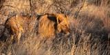 FELID - LION - AFRICAN LION - SICK ATTACKERS - ETOSHA NATIONAL PARK NAMIBIA (22).JPG